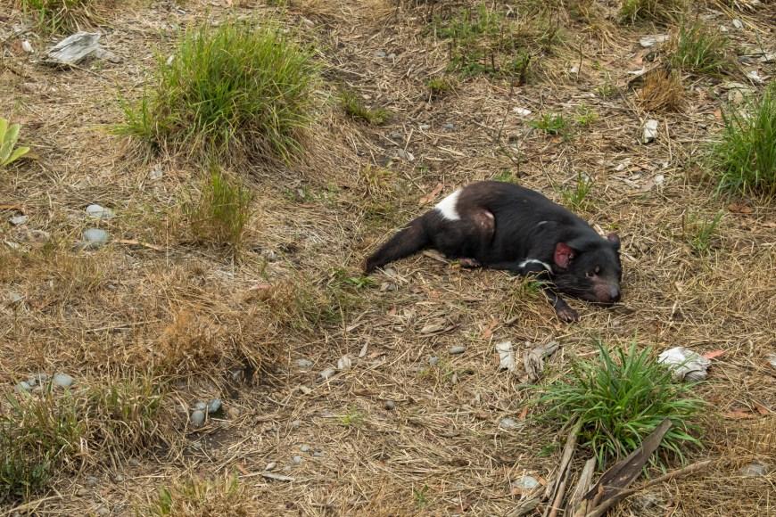 Orana Wildlife Park - Tasmanischer Teufel