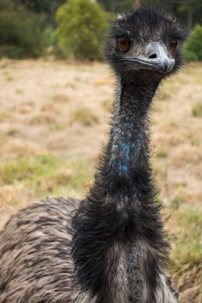 Orana Wildlife Park - Emu