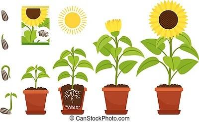 Topf sonnenblumen plant Topf sonnenblumen pflanze
