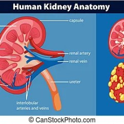 Kidney Nephron Structure Diagram Rv Wiking Spittal Anatomy Vector Illustration Scheme The Human