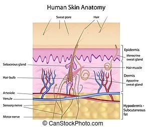 skin cross section diagram 2001 dodge dakota sport stereo wiring human similar illustrationssee all the model