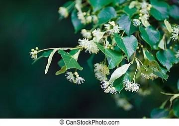 菩提樹, 開花, 樹. 菩提樹, 樹, 向上, 黃色, 關閉, 在期間, 開花, 花, 拍攝.   CanStock