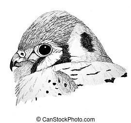 Kestrel Illustrations and Stock Art. 37 Kestrel