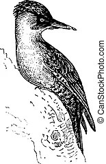 Woodpecker Stock Illustrations. 670 Woodpecker clip art