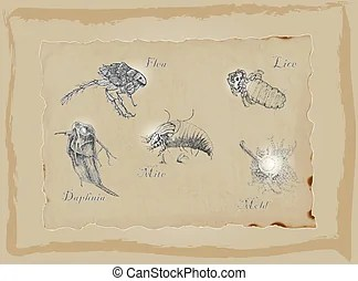 daphnia illustrations and clip