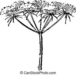Queen anne lace Stock Illustrations. 12 Queen anne lace