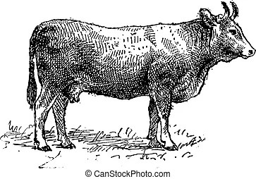 Cattle Illustrations and Stock Art. 9,818 Cattle