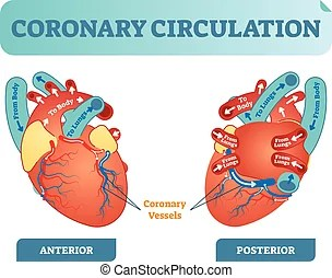 unlabeled heart diagram cross section ford focus wiring 2010 labeled of human eps8 coronary circulation anatomical vector illustration scheme blood flow circuit from