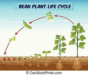 bean seedling diagram electrolux 2100 wiring plant life cycle with all stages seed leave seeding showing
