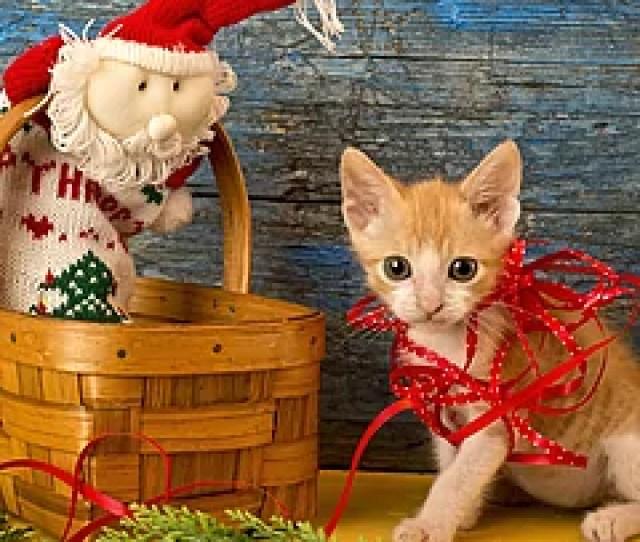 Funny Playful Kitten Christmas