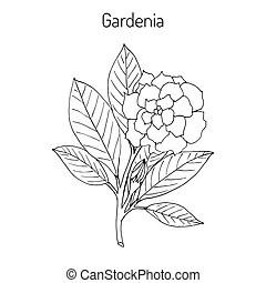 Jasmin. Vector illustration of frangipani with leaves.