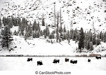 Male buffalo in yellowstone. A male american bison (bison