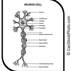 Detailed Neuron Diagram International 4700 Wiring Pdf Anatomy Nerve Cell Close Up Illustrations Human