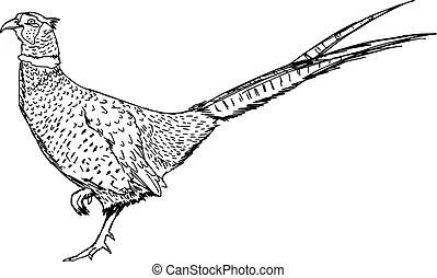 Pheasant Illustrations and Clip Art. 630 Pheasant royalty