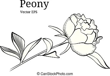 Peony collection in vector. Vector hand drawn peony