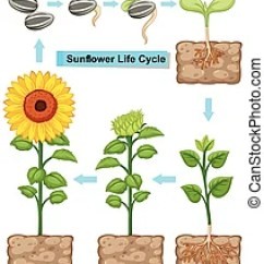Sunflower Plant Life Cycle Diagram 5 Wire To 4 Trailer Wiring With All Stages Seed Leave Seeding Of