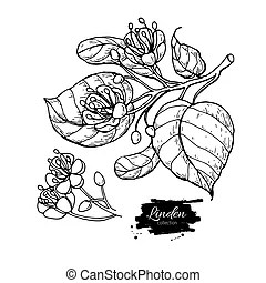 lime tree illustrations and stock