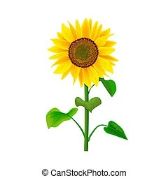 helianthus illustrations and stock