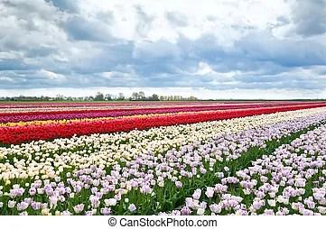 Tulpen bunte pinocchio Feld pinocchio whitered keukenhof tulpen