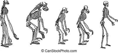 Stich, vergleich, affen, skelett, weinlese, größten