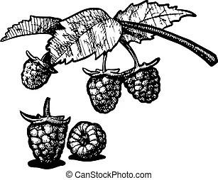 Himbeer Illustrationen und Clip-Art. 13.970 Himbeer