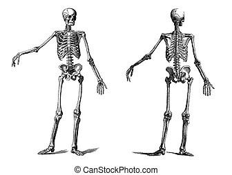 Illustrations Clip Art Vecteurs de Squelette. 17 572
