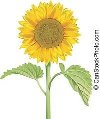 現實. 矢量. illustration.. 向日葵 矢量 - 搜索剪貼畫。插圖。圖畫以及 EPS 圖形圖像 - csp6801833