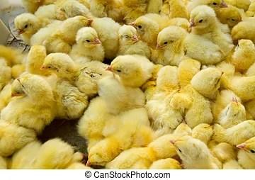 小雞. 背景. 擠作一團. 小雞. 年輕. 組.