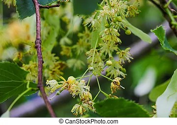 菩提樹, 樹, tree), (lime, 花.