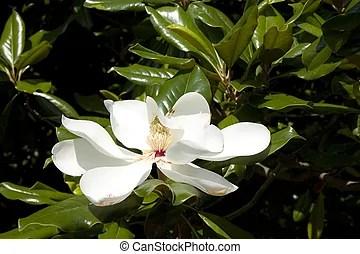 木蘭. 花. 完美. 木蘭. 我們. 阿肯色. 樹。. magnificient. 植物. 花.   CanStock