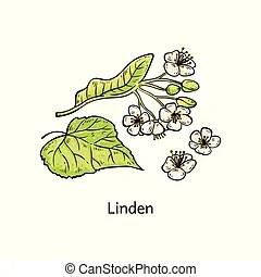 菩提樹, 花, 葉子.