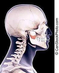 Anatomi. musker. kvinna vett. Musker. bakgrund. isolerat. ansikte. anatomi. kvinnlig. vit.