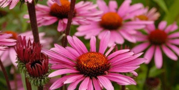 Foto - Ekinezya: Soğuk algınlığı ve öksürük tedavisinde kullanılır. Bitkinin kökleri çeşitli akciğer enfeksiyonlarında yardımcıdır.