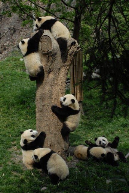 Tree Out Panda Falling