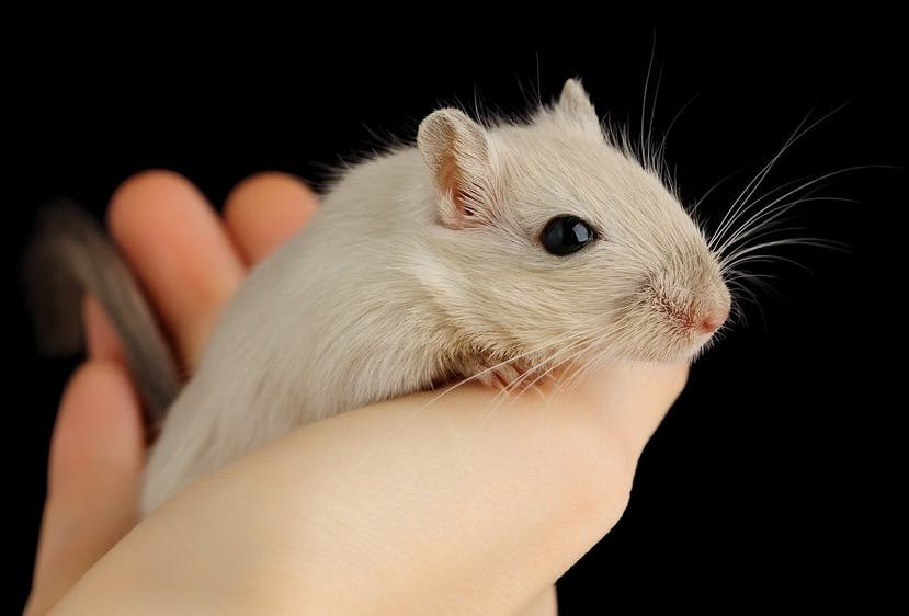 Exonerate The Rats It Was Gerbils That Brought The Black