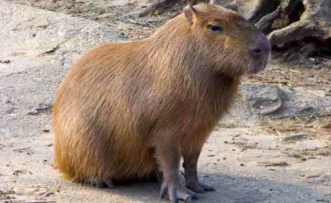 Animal Files Capybaras The World S Largest Rodents