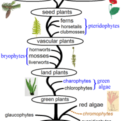 Horsetail Plant Diagram Taotao 50cc Wiring The Different Types Of Plants In World Represented An Evolutionary Tree Image Credits Maulucioni