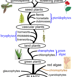 the different types of plants represented in an evolutionary tree image credits maulucioni  [ 940 x 1481 Pixel ]