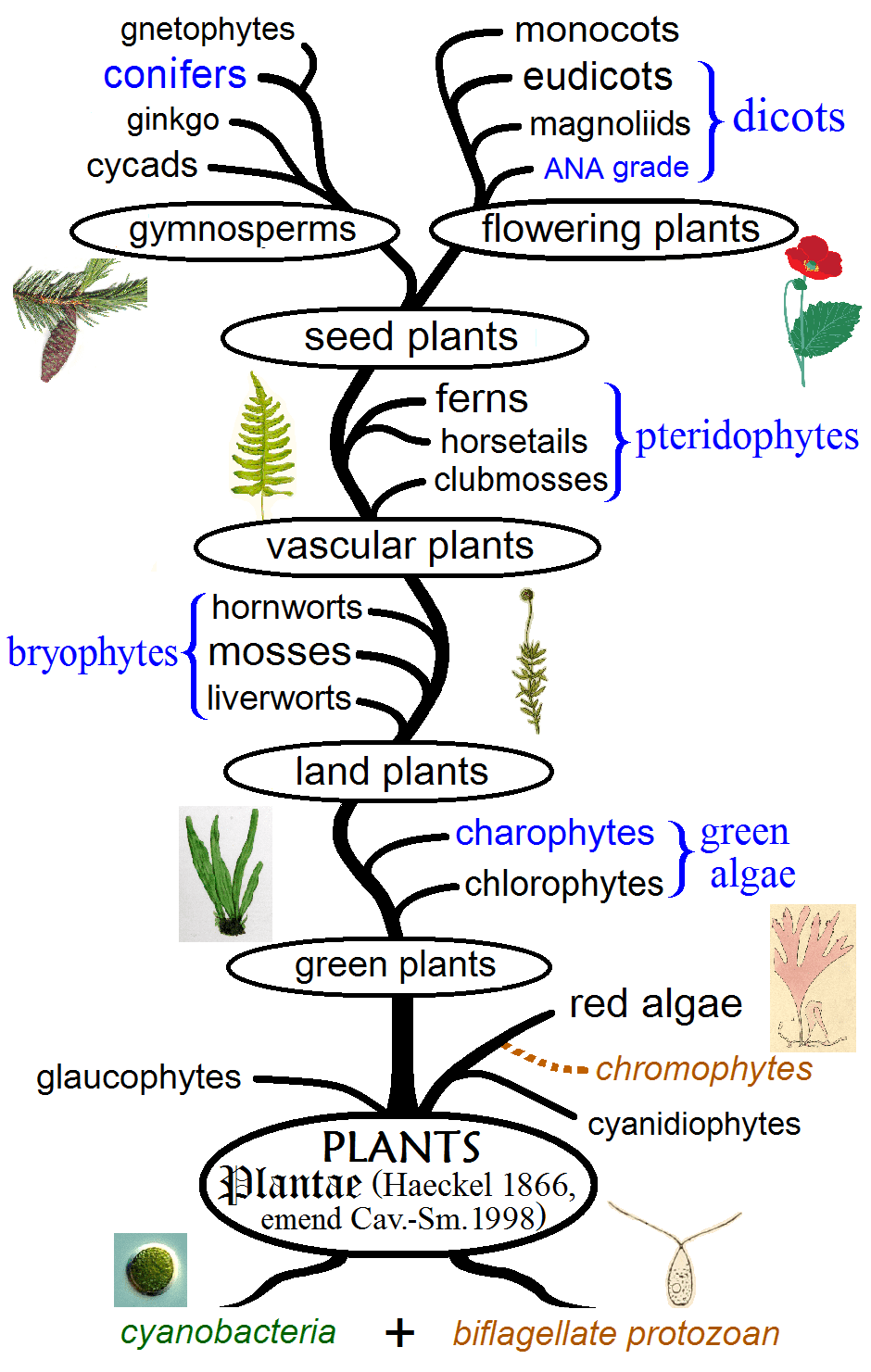 hight resolution of the different types of plants represented in an evolutionary tree image credits maulucioni