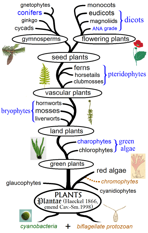 small resolution of the different types of plants represented in an evolutionary tree image credits maulucioni