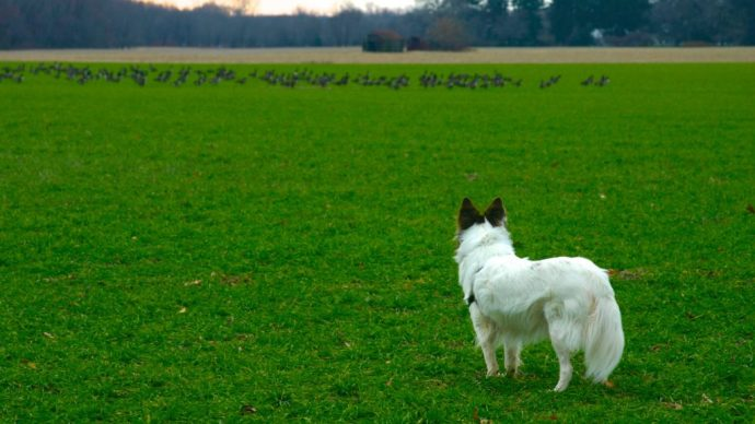 Dogs can detect agricultural diseases 1