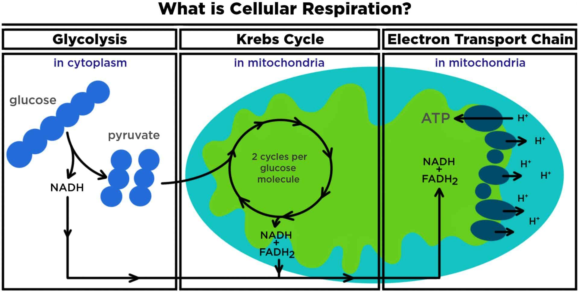 What Is Cellular Respiration From Food To Atp