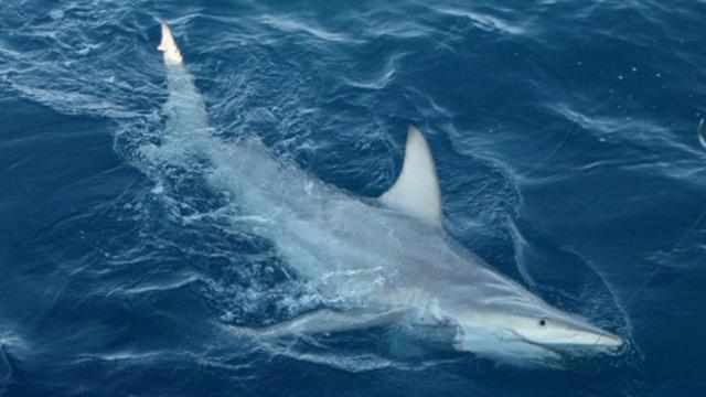 Gambar Ikan Cucut Gergaji