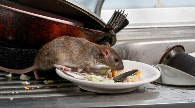 7 Fakta Seputar Hantavirus di Tiongkok yang Ditularkan Tikus ...