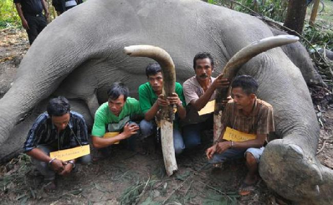 Gajah Sumatera Mati Membusuk Di Pinggir Anak Sungai Jambi