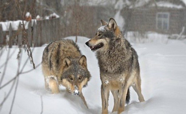 Wolves In Chernobyl Dead Zone Documentary Heaven
