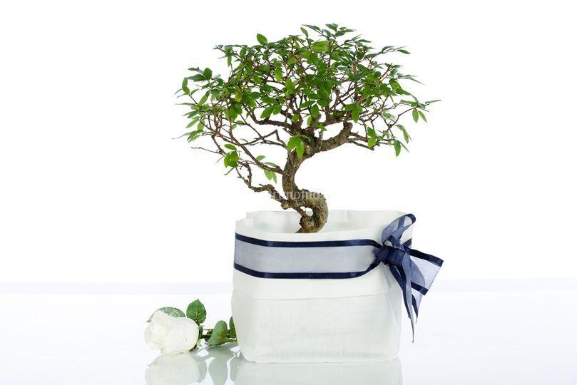 Bomboniere bonsai originali di Voglia di Bonsai  Fotos