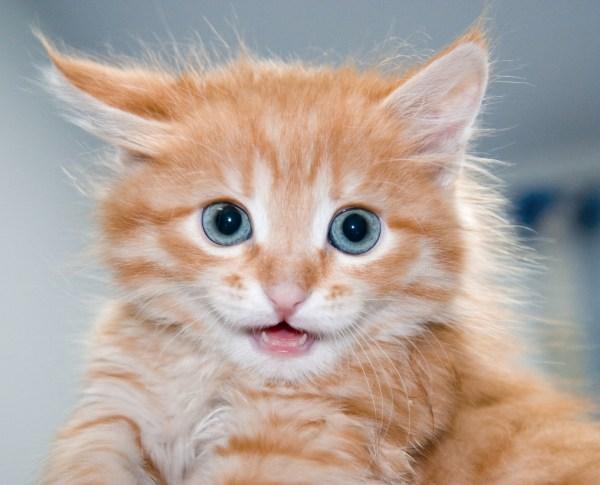 Orange Kittens with Blue Eyes