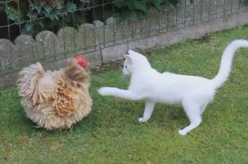 Cute Funny Kitten Wallpaper Watch This Cute Kitten Playfully Battle A Hesitant Chicken