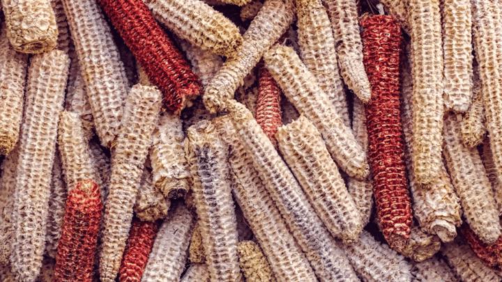 bare corn cobs 7